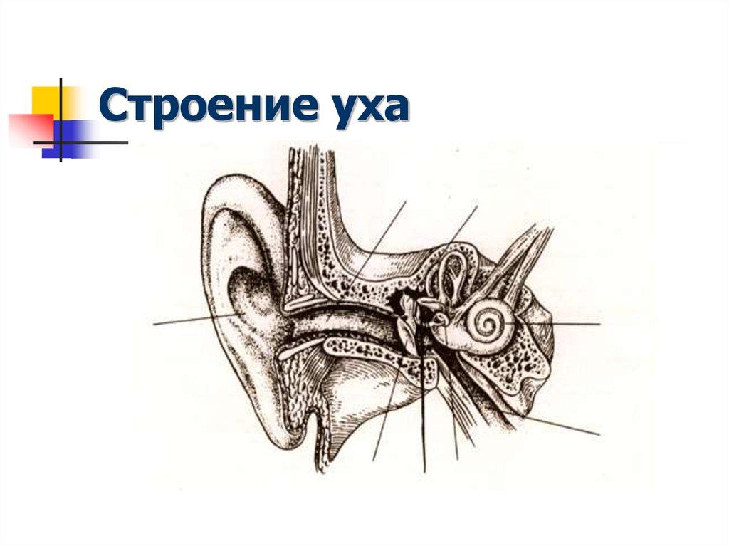 Картинка уха человека строение