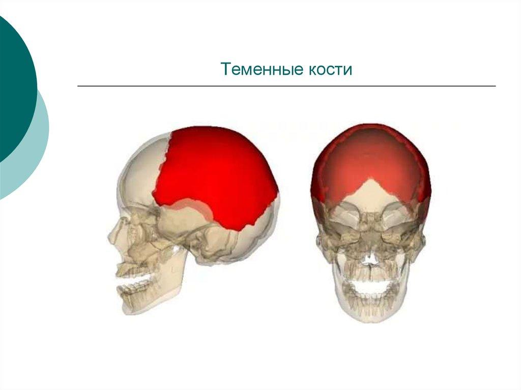 Теменная кость черепа фото вместе морозом