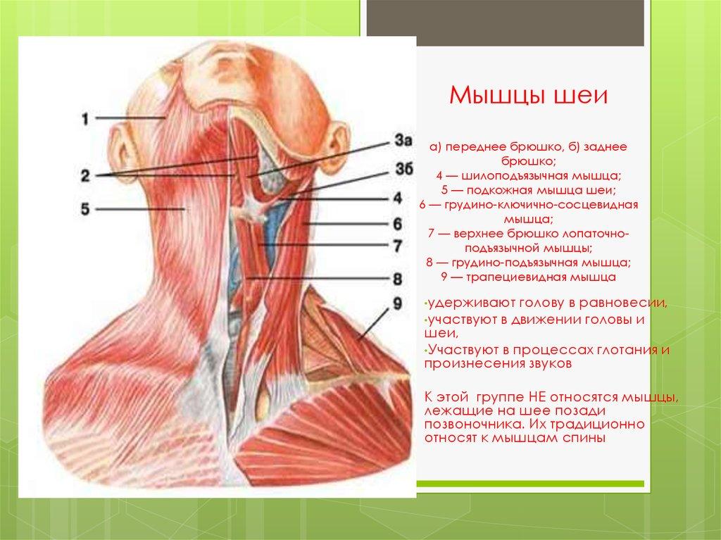 строение шеи человека фото с описанием спереди универсальная