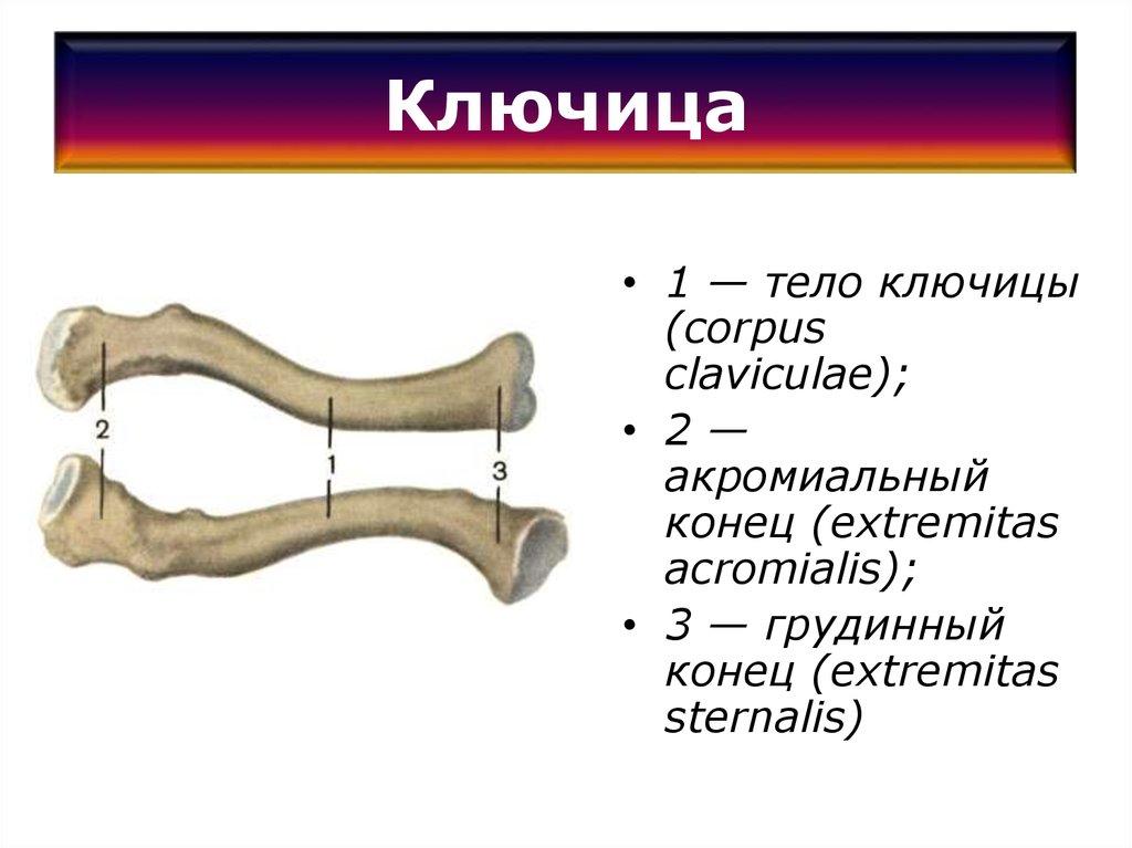 Ключица картинки на русском