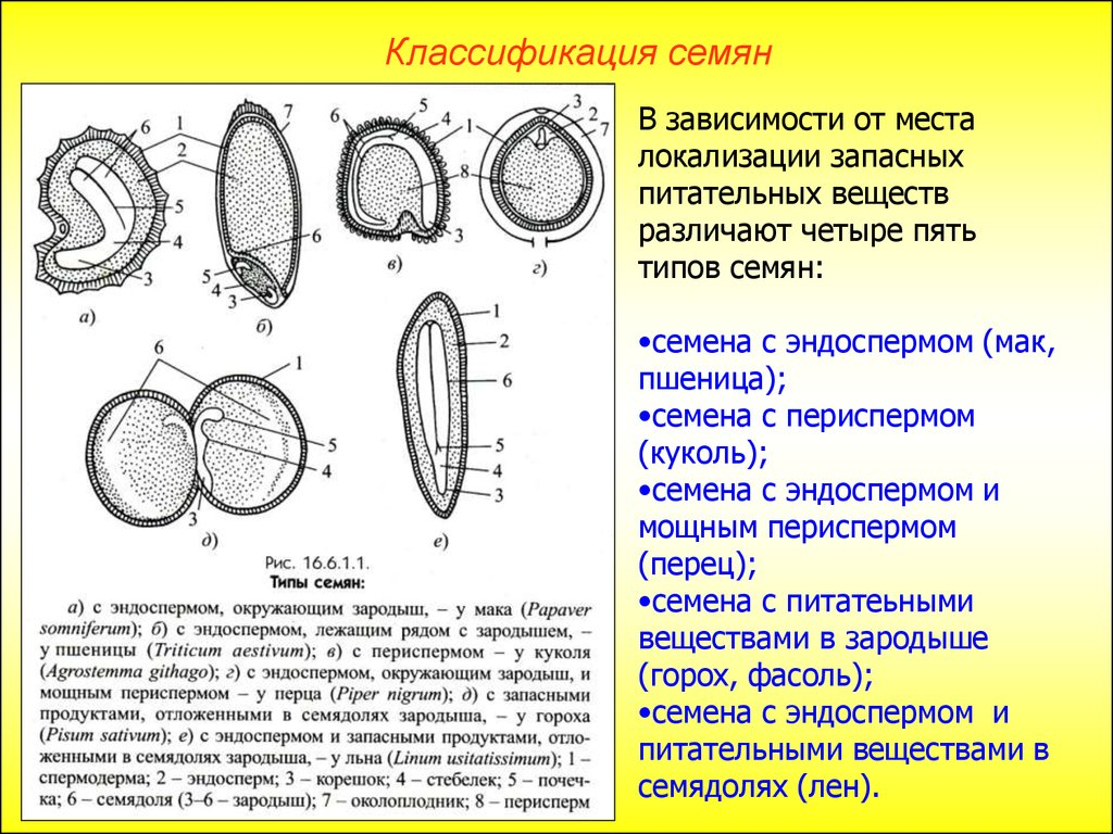 Набор хромосом в эндосперме двудольных