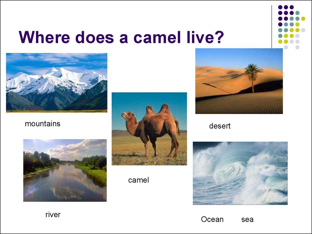 Where does a camel live?