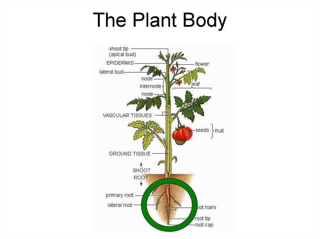 The Plant Body