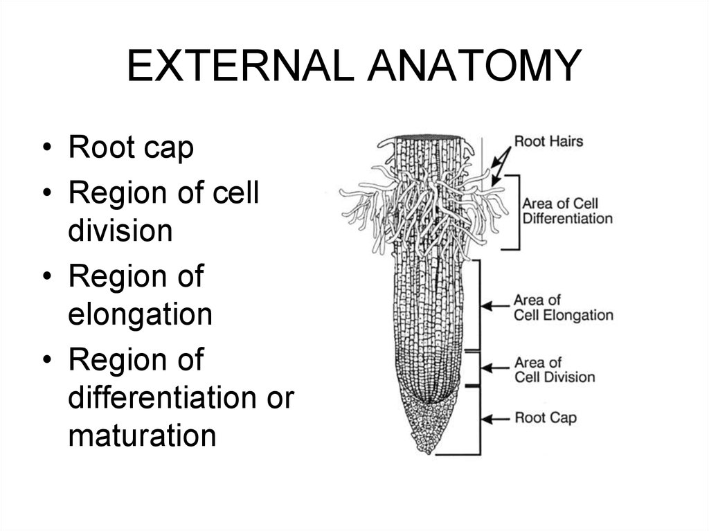 The plant body. Roots in flowering plants - online presentation