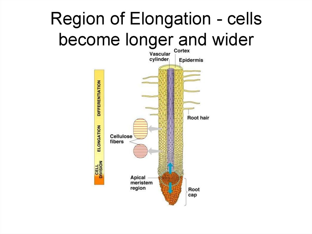 Region of Elongation - cells become longer and wider