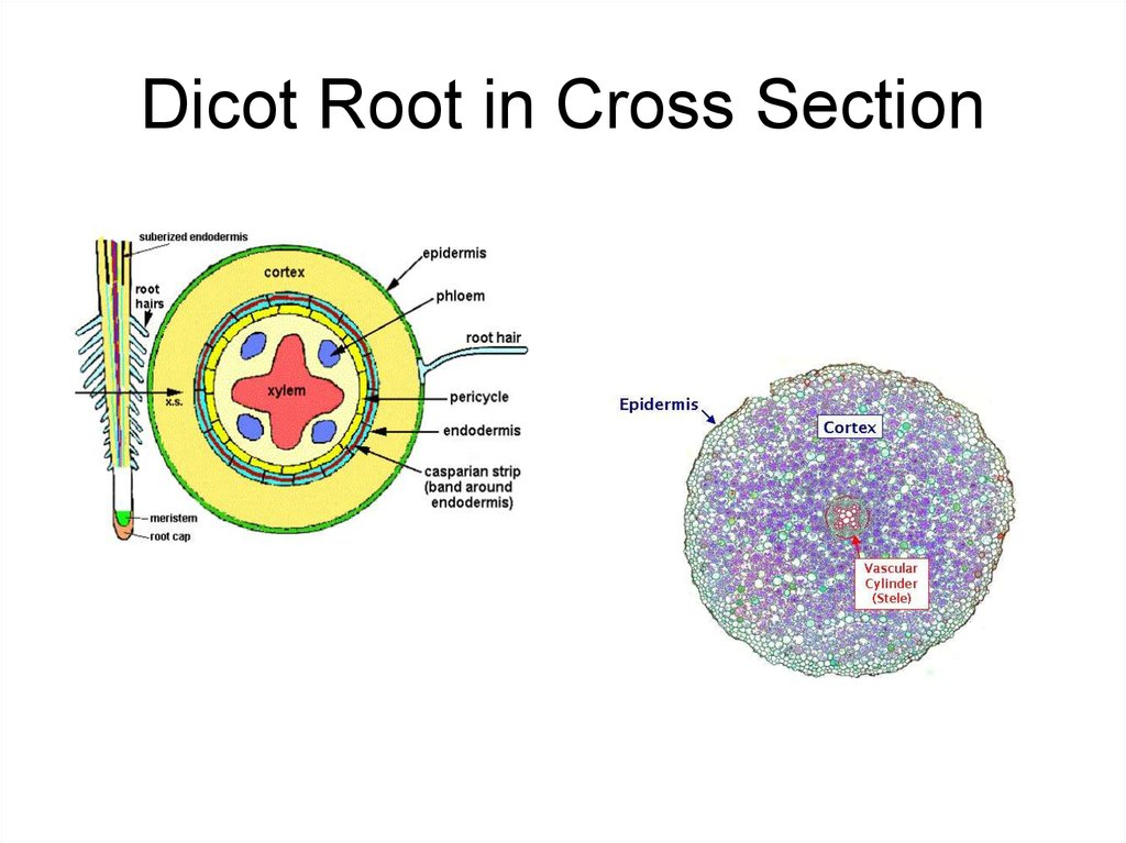 Dicot Root in Cross Section