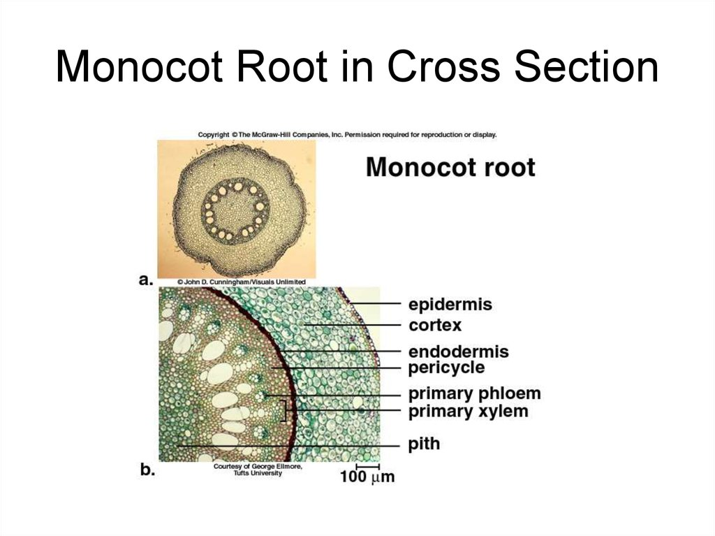 Monocot Root in Cross Section