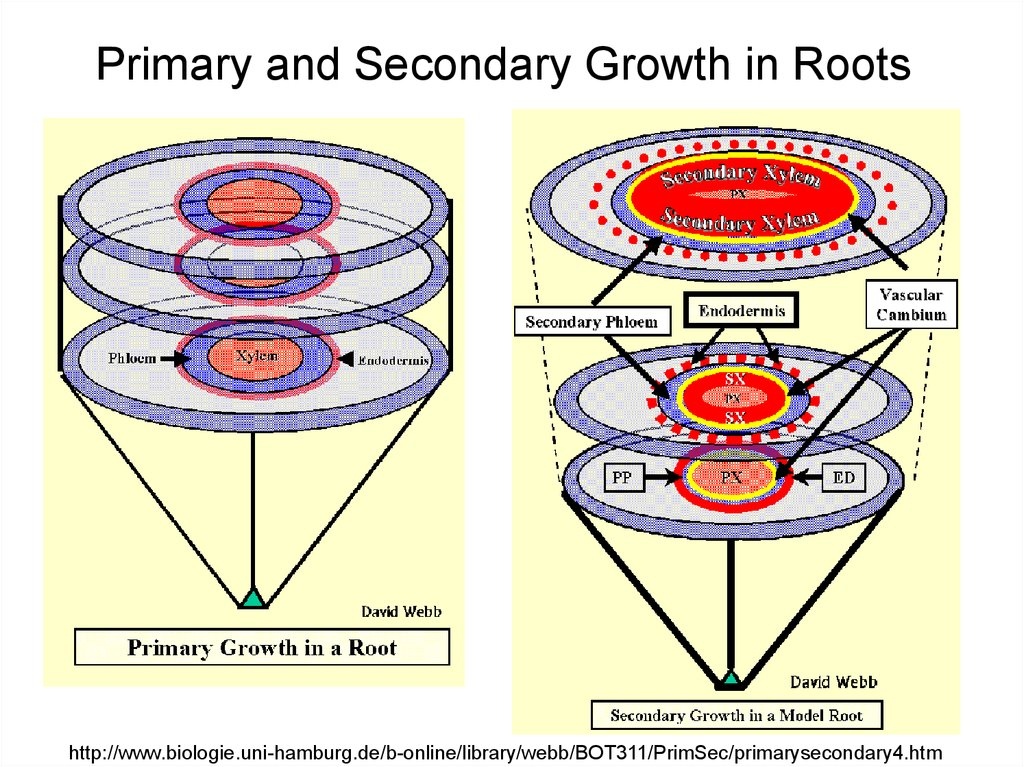 Primary and Secondary Growth in Roots