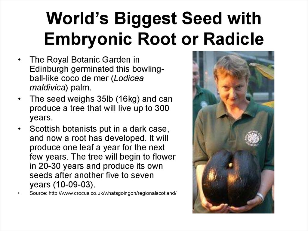 World's Biggest Seed with Embryonic Root or Radicle