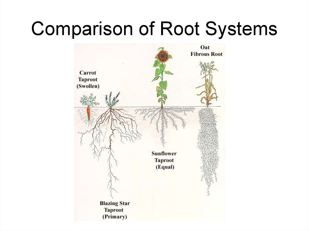 Comparison of Root Systems