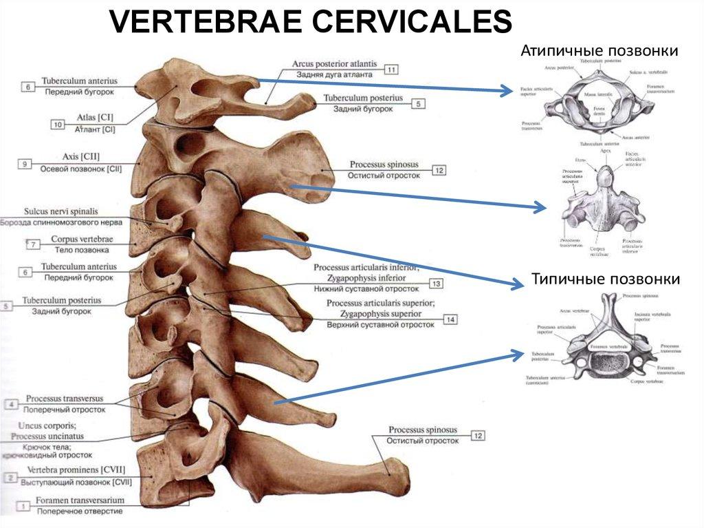 Функциональная анатомия костей туловища. Рентгенанатомия ...