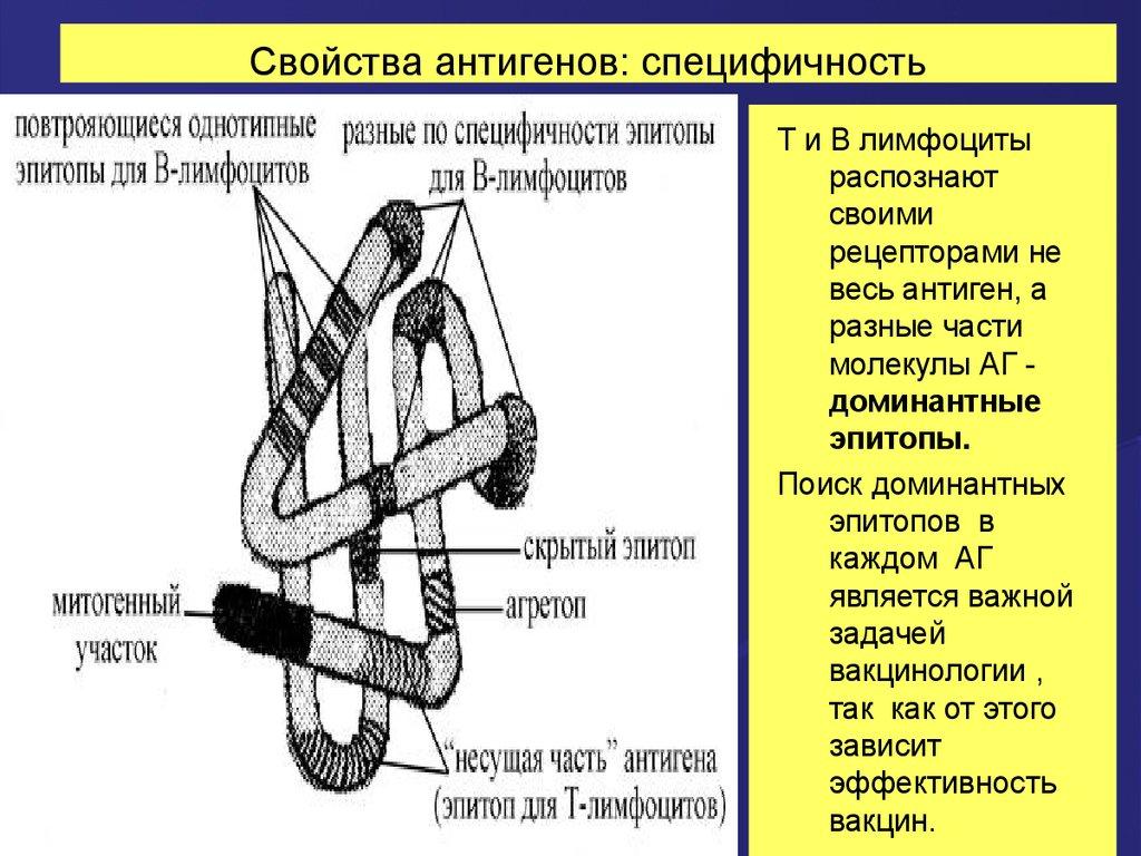 Антигены.Общие сведения.