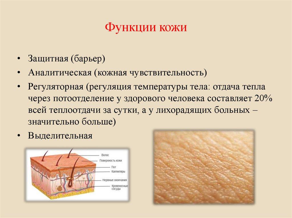 Функции кожи человека реферат с картинками