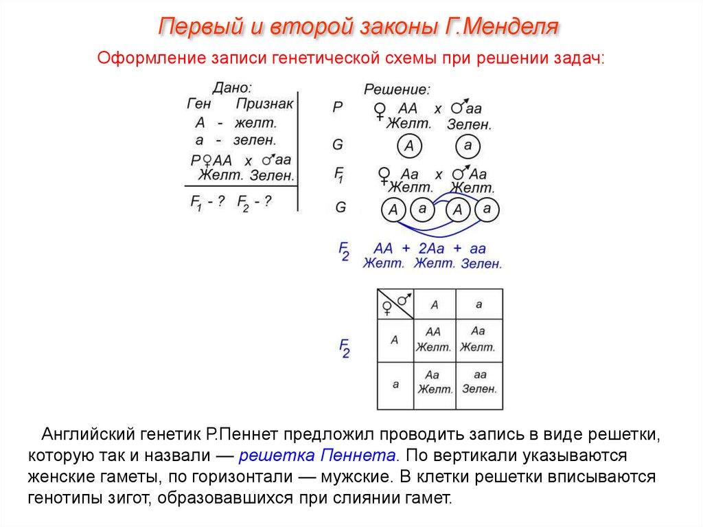 Решение задач на 1 закон менделя алгоритм решения задач по биологии по днк