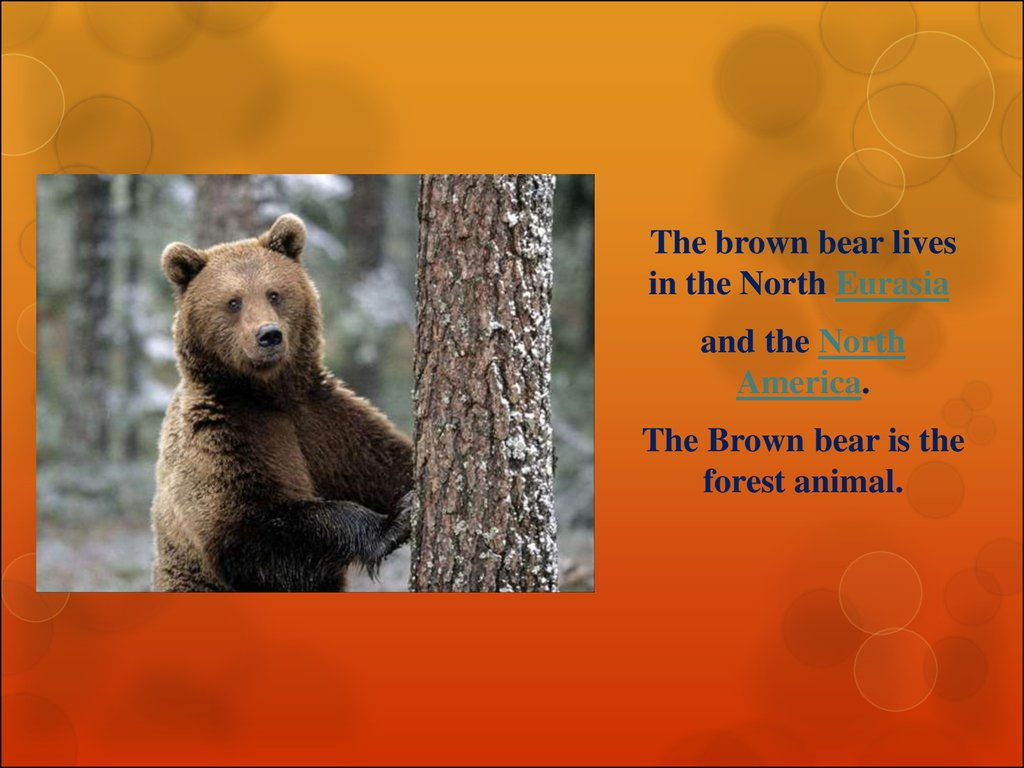 Interesting facts about the brown bear - online presentation - photo#6