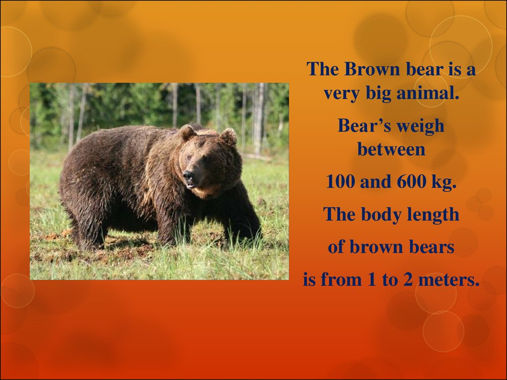Interesting facts about the brown bear - презентация онлайн - photo#1