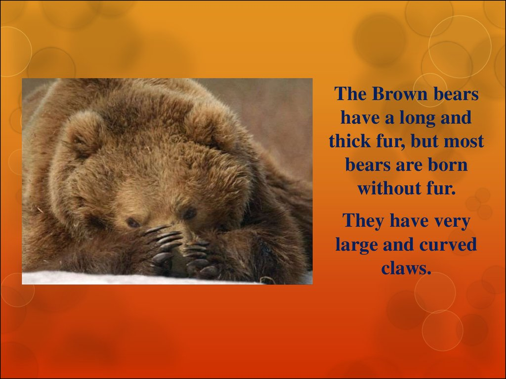 Interesting facts about the brown bear - презентация онлайн - photo#24