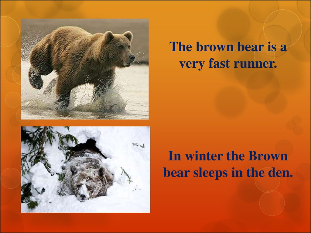 Interesting facts about the brown bear - презентация онлайн - photo#13