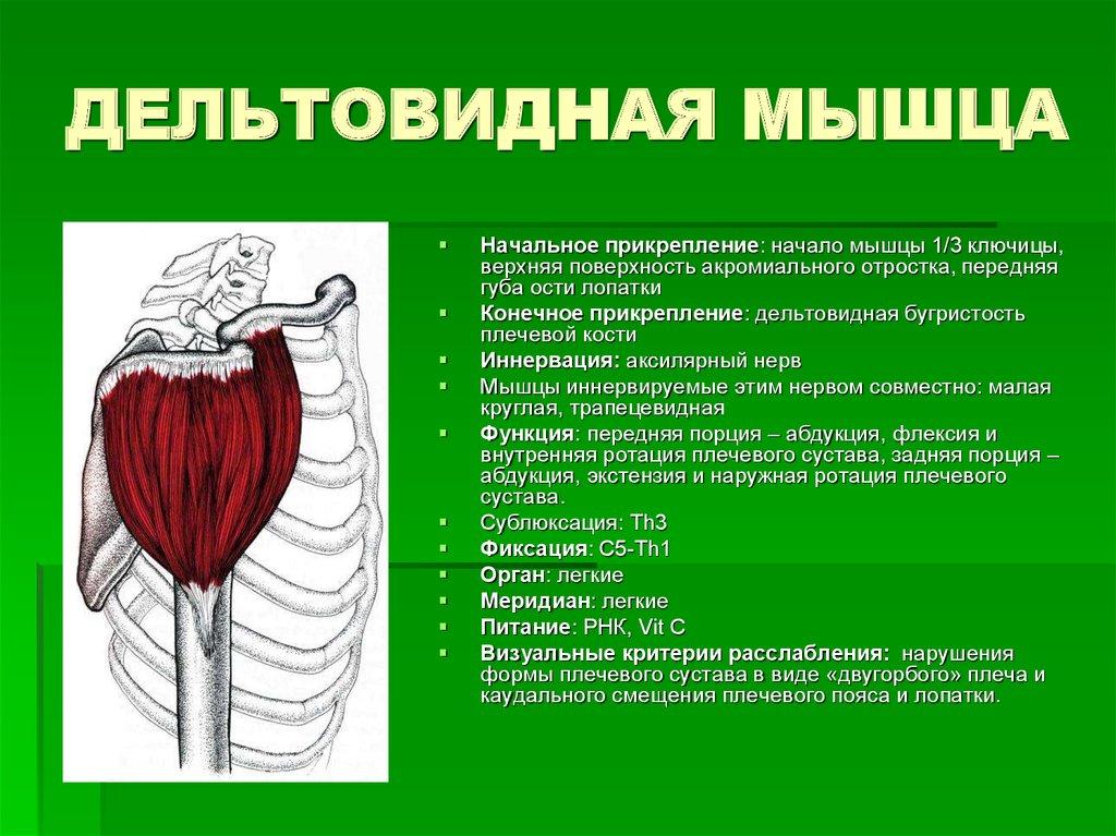Дельтовидная мышца с картинками