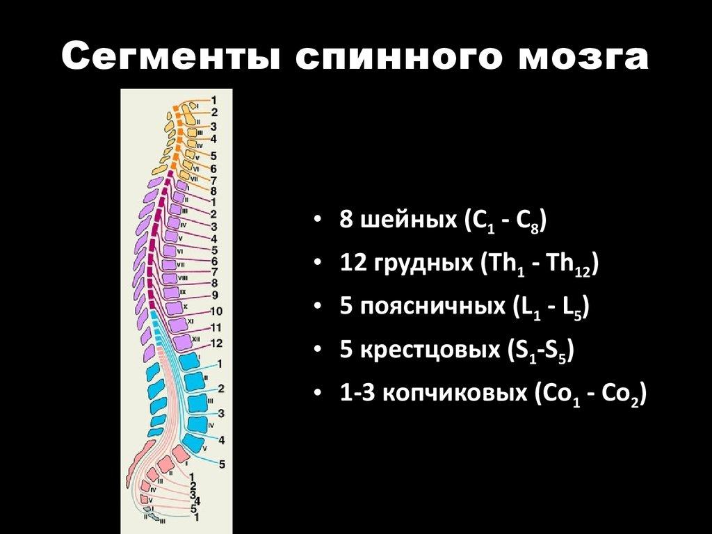 Сегментарный принцип работы спинного мозга