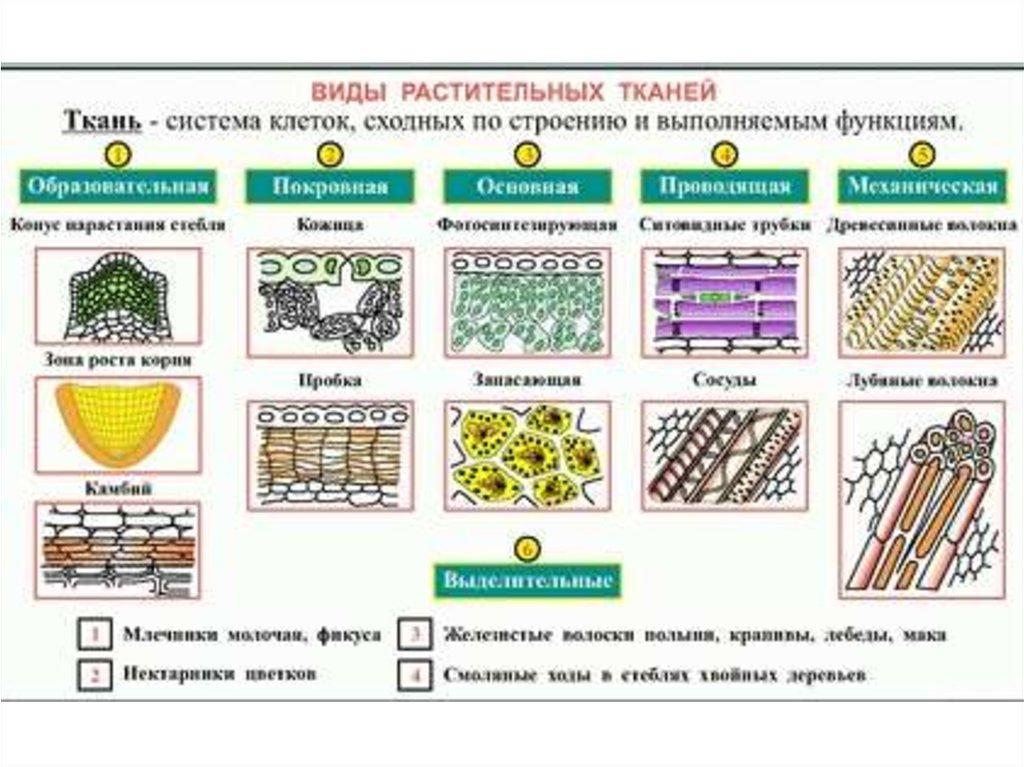 таблица и ткани растения их виды