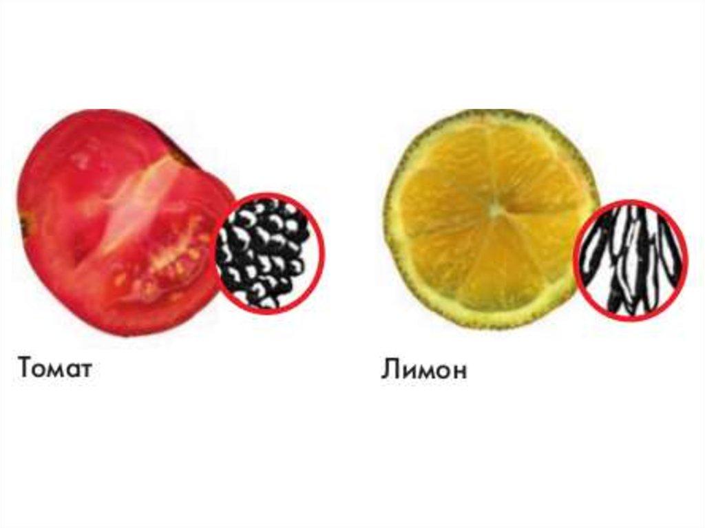 Мякоть помидора под лупой рисунок
