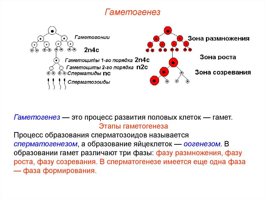 Характеристика гамет сперматозоида