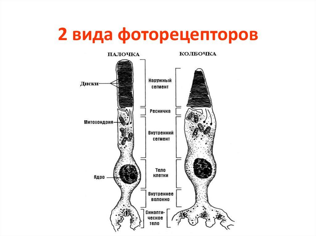 фоторецепторные клетки глаза можно ловить