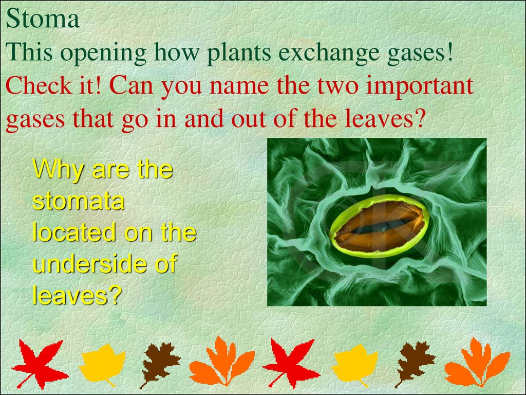 Stoma This opening how plants exchange gases! Check it! Can you name the two important gases that go in and out of the leaves?