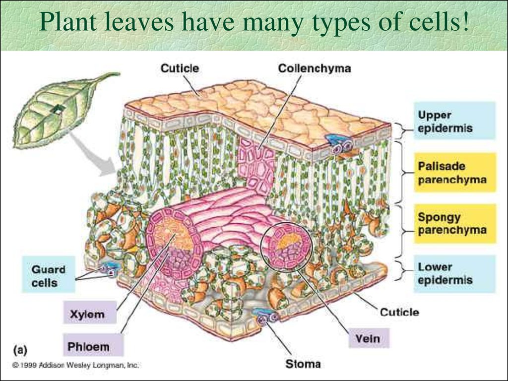 Plant leaves have many types of cells!
