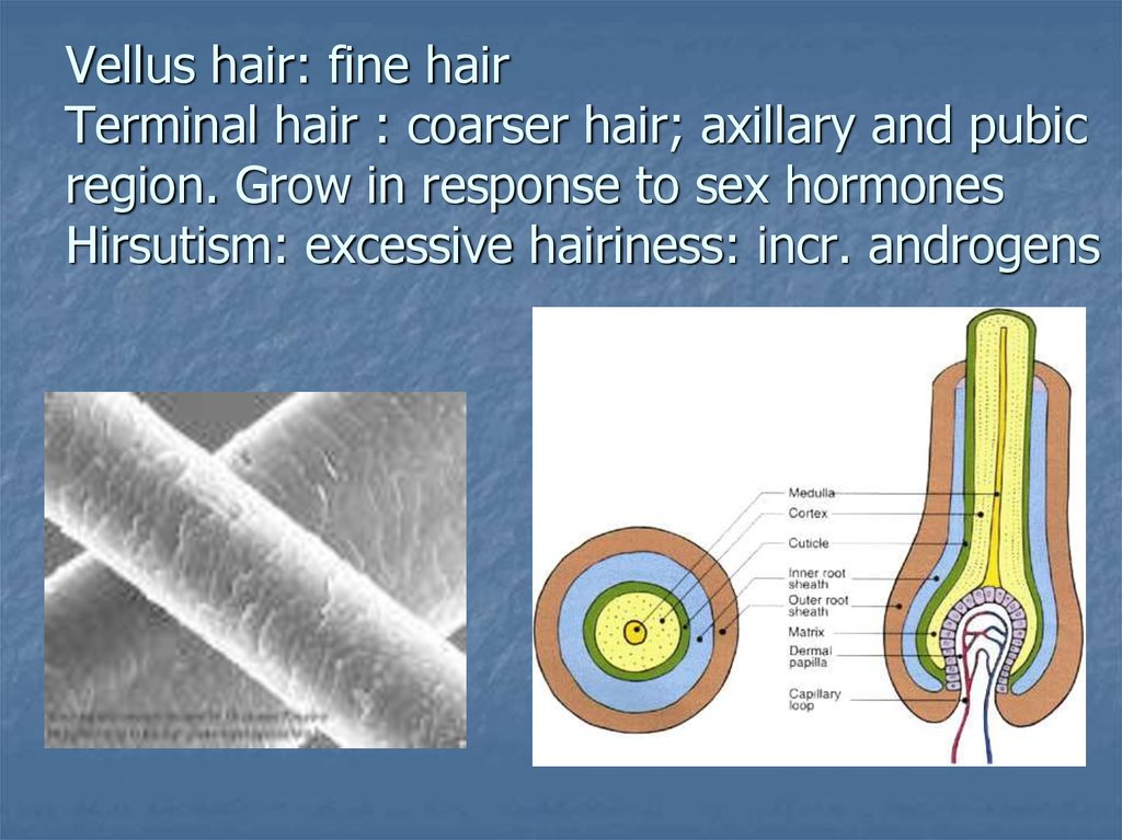 Vellus hair: fine hair Terminal hair : coarser hair; axillary and pubic region. Grow in response to sex hormones Hirsutism: excessive hairiness: incr. androgens