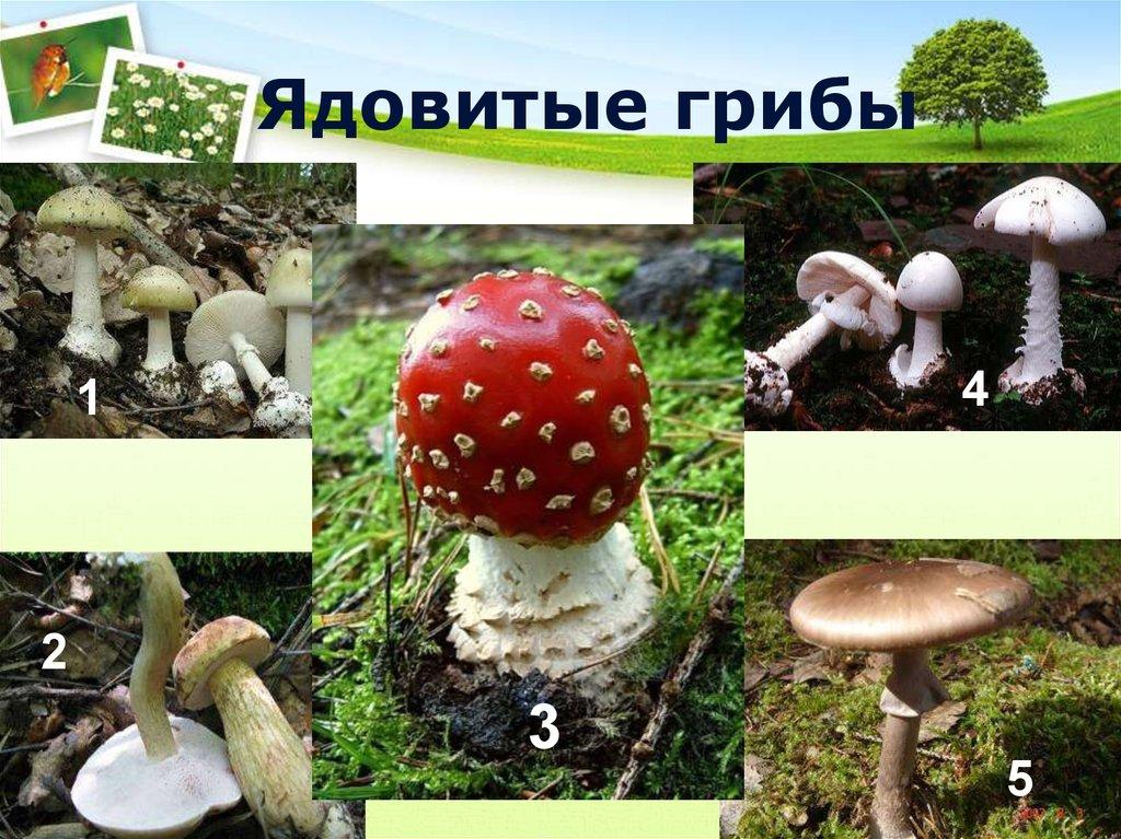 укрою все не ядовитые грибы фото и картинки городе установлено перемирие