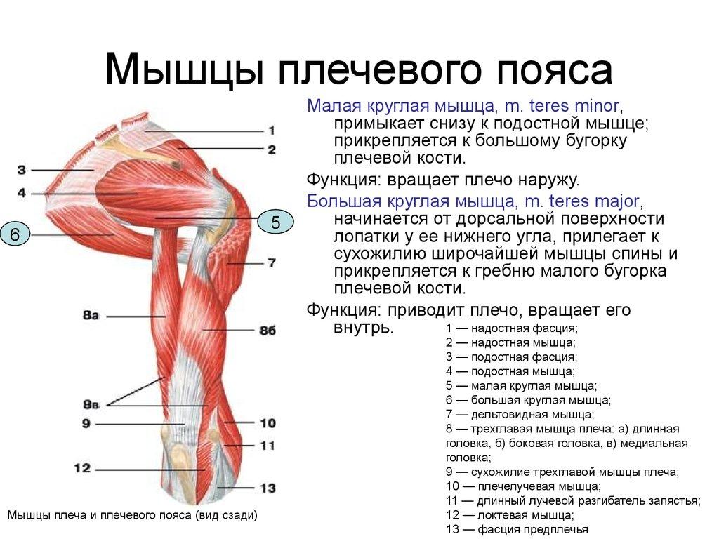 Мышцы плечевого пояса и их функции