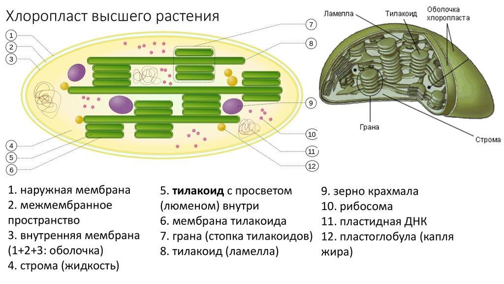 Внутренние мембранные структуры хлоропластов содержащие молекулы хлорофилла