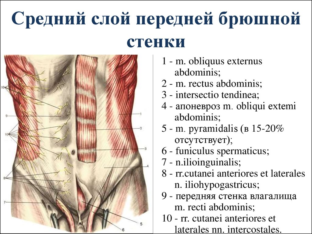 Анатомия брюшной стенки картинки