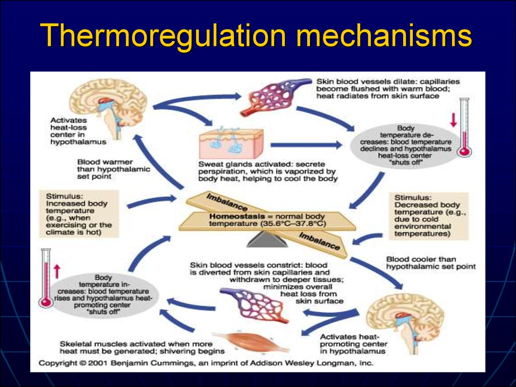 Thermoregulation mechanisms
