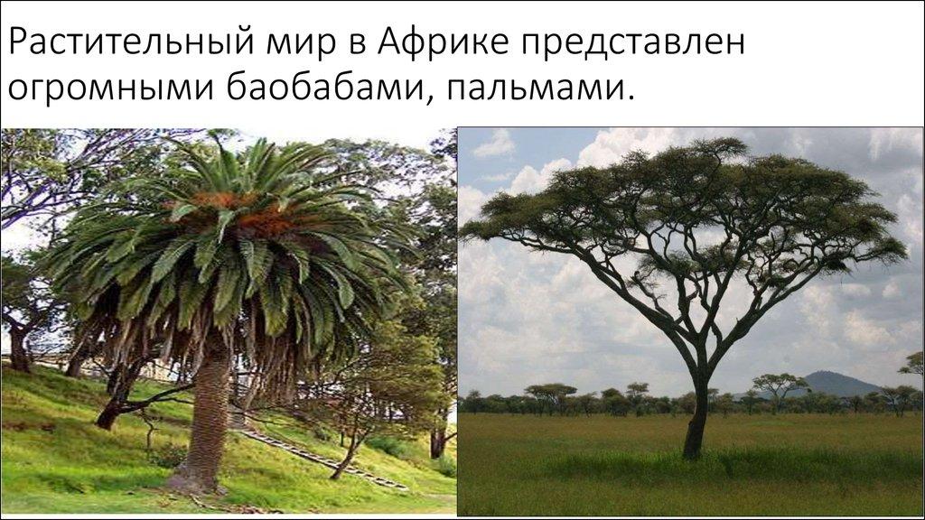 растения африки картинка с названиями этом