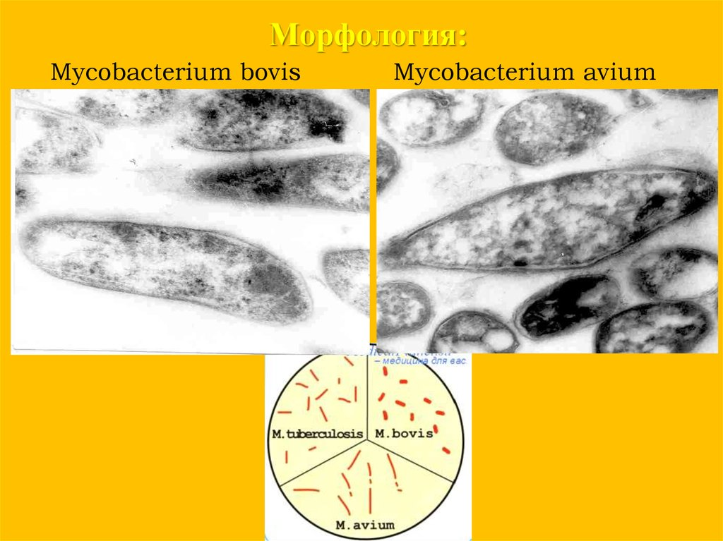 mycobacterium tuberculosis evolved in response to Virulence life cycle of mycobacterium tuberculosis and mtb has evolved specific mechanisms to generated by the host immune system in response to.