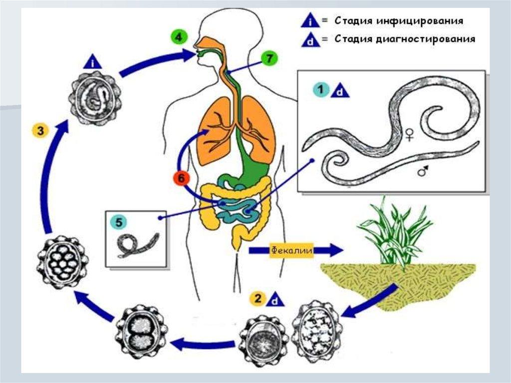 паразиты токсокары в человеке