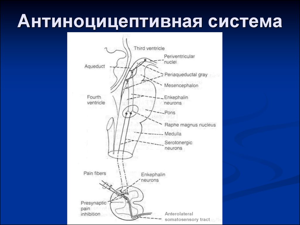 Антиноцицептивная система картинки