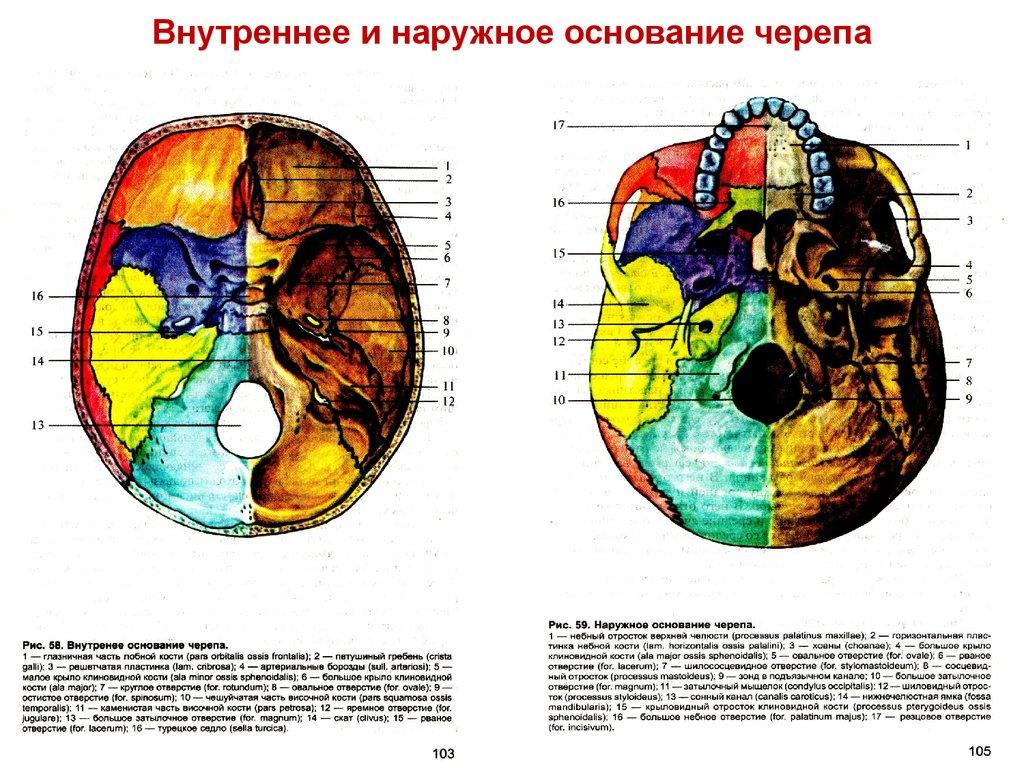 основание черепа анатомия в картинках канцелярский