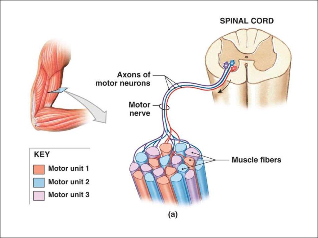 Muscular Hysiology Online Presentation