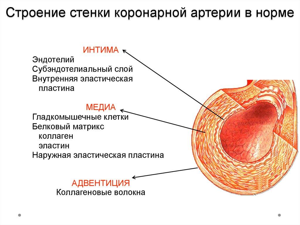 Стенка артерии картинки
