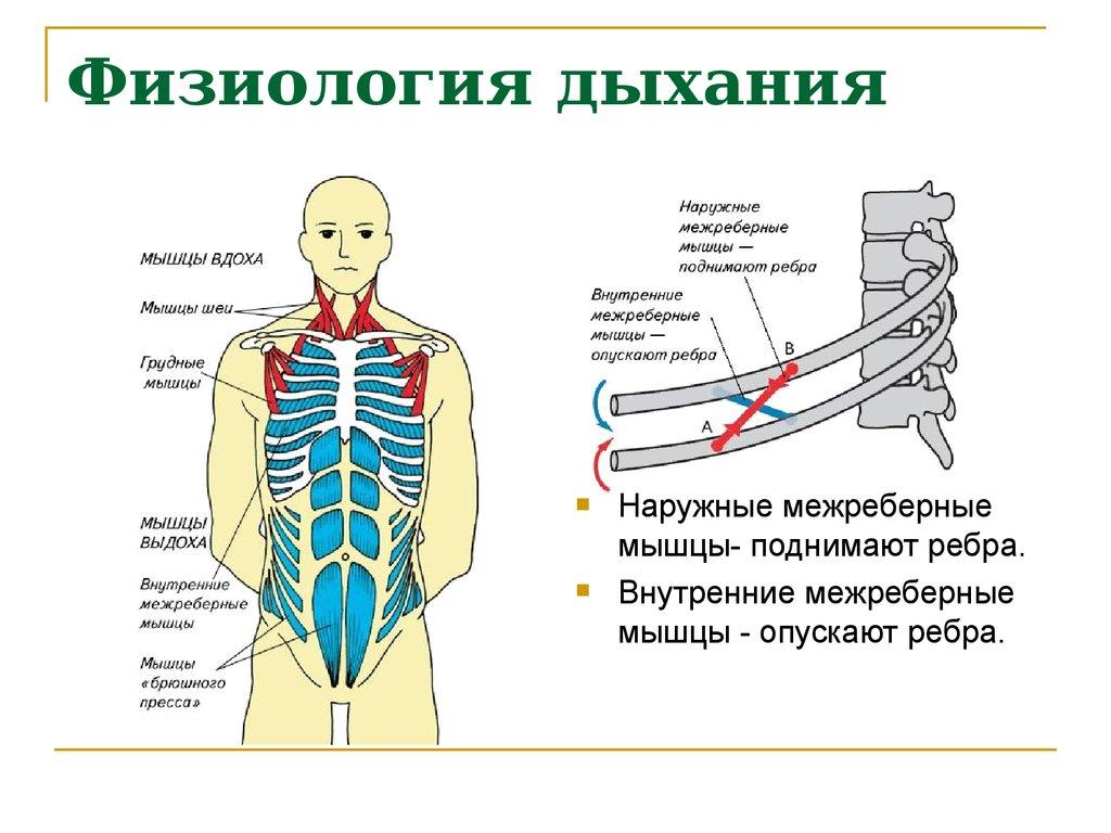 Физиология дыхания шпаргалка