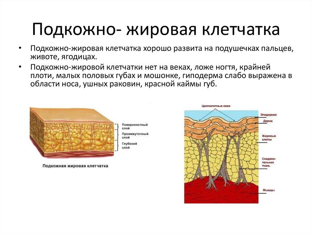 Подкожно жировая клетчатка развита