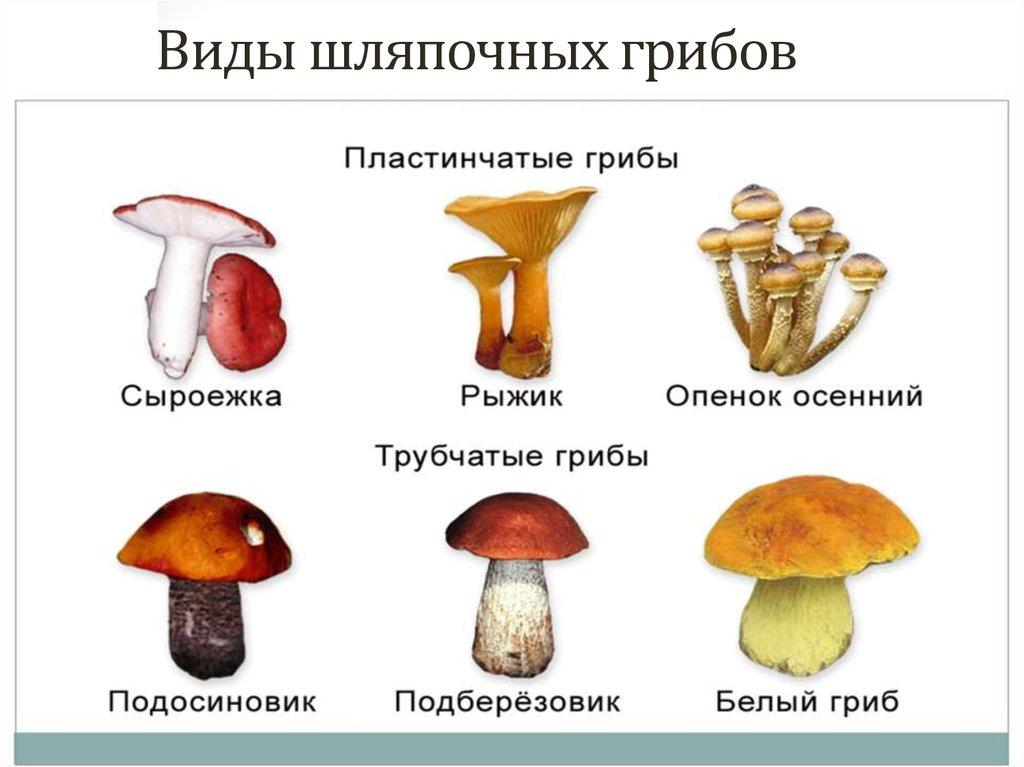 авто грибы шляпочные картинки змеиному