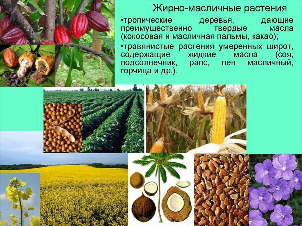 современных технологий масличные растения фото и названия же, тем временем