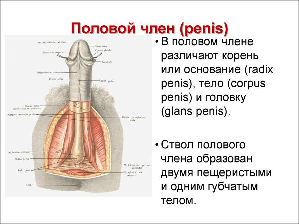 Анатамия пениса