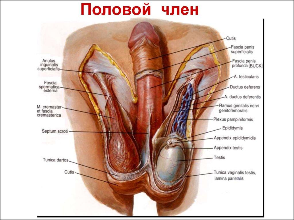 Пенис половой мужской орган