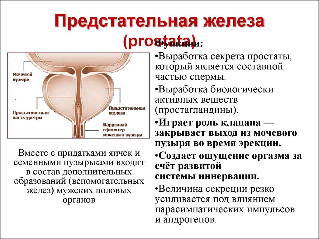 Мужская физиология сексуальный рефлекс